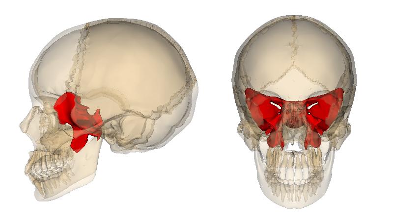 頭蓋骨の真ん中で、目を奥から支えている蝶々の形をした骨