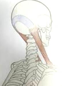 胸鎖乳突筋から頭皮筋膜