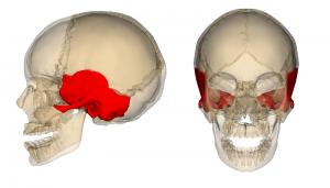 魚のエラのような側頭骨