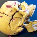 バックラインの筋膜が【背中呼吸】でシンメトリー美人をつくってくれるその理由