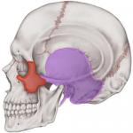 重力によって垂れ下がる顔の骨No1とは?
